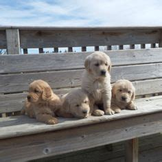 golden retriever puppies kijiji golden retriever puppies dogs puppies for sale kitchener waterloo kijiji