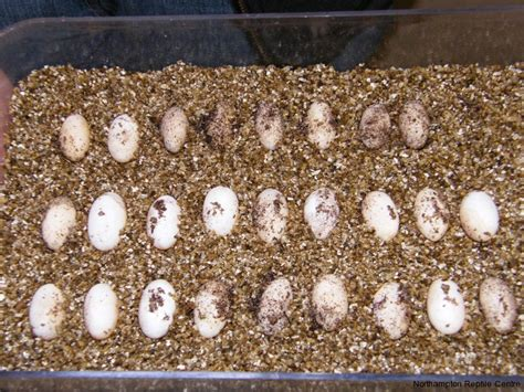 bearded dragon eggs reptile centre