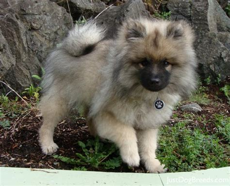 keeshond dogs cosmo keeshond breeds