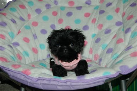 maltese shih tzu teacup haircut for bichon shih tzu mix puppies hairstyle gallery