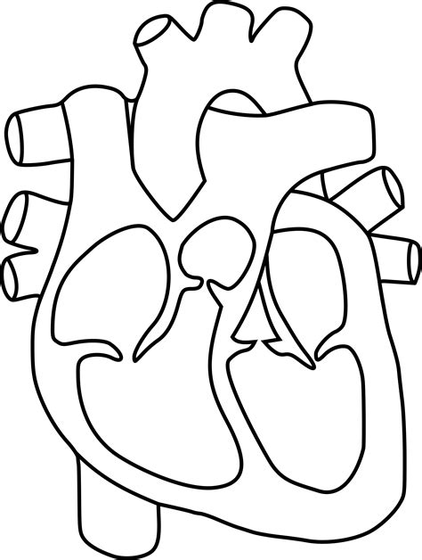 coloring page of a real heart clipart human heart