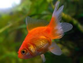 Garden Pond Fish Types - japanese koi amp garden pond fish guide in new jersey full