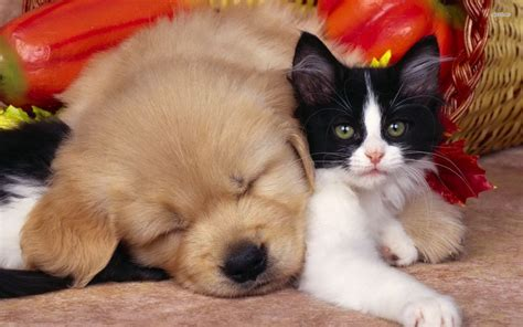 wallpaper cat and dog hd cute dog cat hd wallpaper stylishhdwallpapers