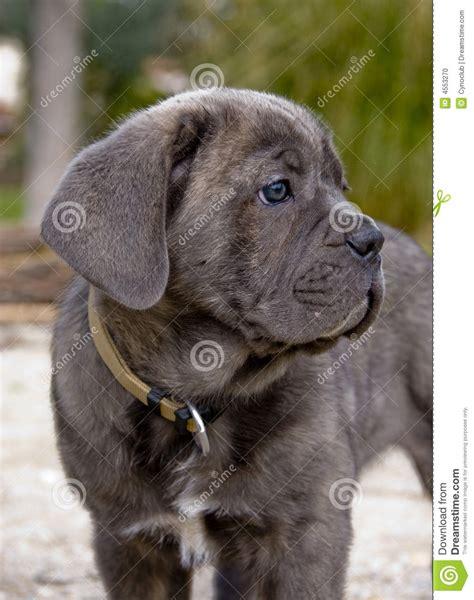 italian mastiff puppy puppy italian mastiff stock photo image 4553270