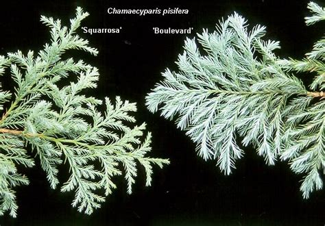 Grayish Blue Chamaecyparis Pisifera Boulevard Landscape Plants