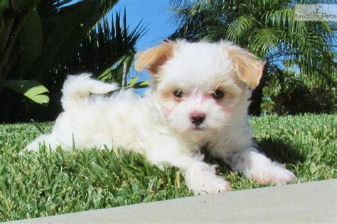 havanese breeders san diego tiny non shedding havanese puppies for sale in franklin tennessee breeds picture