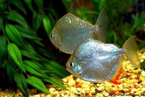 freshwater fish freshwater fish wallpaper amazing wallpapers