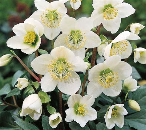 rosa di natale in vaso una pianta con fiore che resiste al freddo l elleboro o