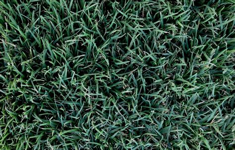 santa ana couch seed couch lawns 28 images couch grass stock photos couch
