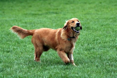 pics of a golden retriever golden y labrador retriever diferencias ella