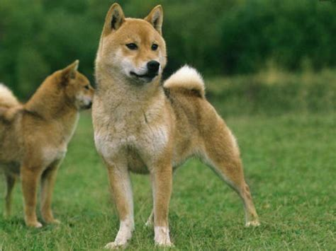 le berger won t light shiba inu information on keeping shiba breed