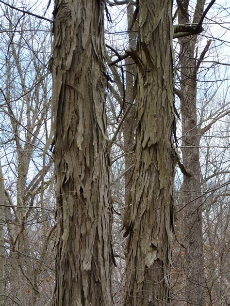 file shagbark hickory trunks basking ridge nj jpg