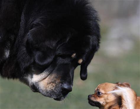mastiff pomeranian mix zodd the tibetan mastiff