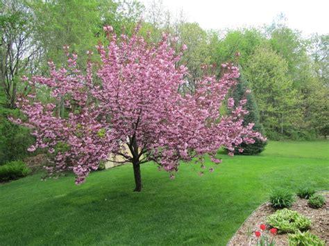 15 best cherry blossom trees images on pinterest blossom