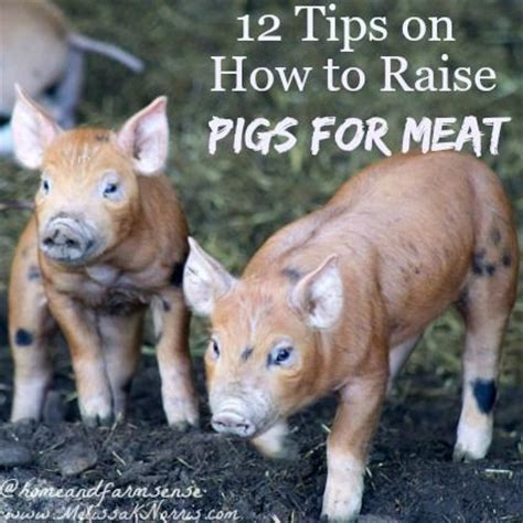 how to raise pigs in your backyard 25 best ideas about pig farming on pinterest pig pen