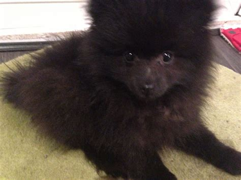 pomeranian black puppies black pomeranian puppy wilmslow cheshire pets4homes