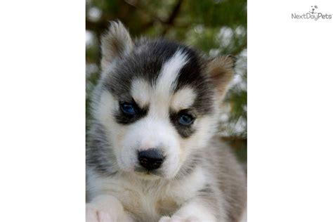 free husky puppies in ga meet a siberian husky puppy for sale for 350 ch sired on hold for