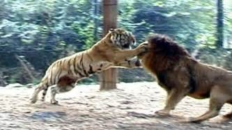 Jaguar Vs Leopard Fight Big Vs Big Cats Deadliest Fights Tiger Jaguar Cheetah