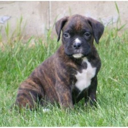 boxer puppies for sale in wisconsin northwoods boxers boxer breeder in lake wisconsin listing id 13623