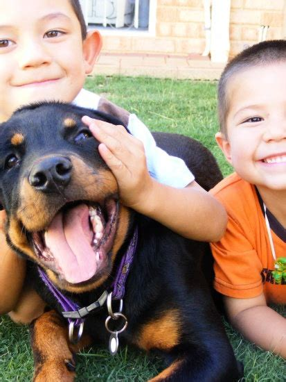rottweiler with children rottweilers can be great with rottie
