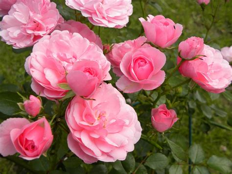 rose s go wild with roses urbanflora