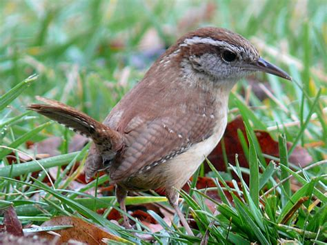 carolina wren thryothorus ludovicianus michigan s
