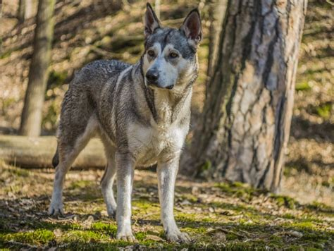 northern inuit price northern inuit breed information buying advice photos and facts pets4homes