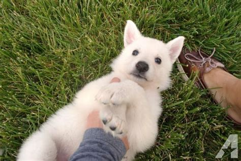 puppies columbia mo white german shepherd puppies jet black puppies for sale in columbia