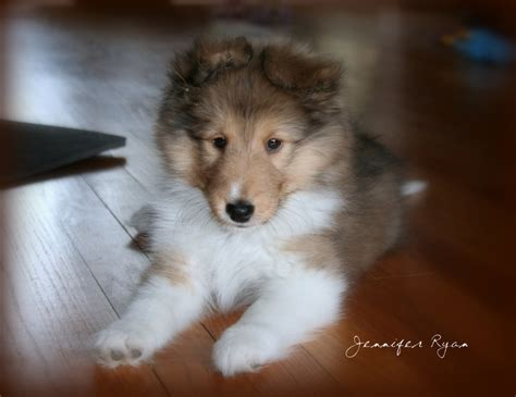 Do Sheltie Dogs Shed by 13 Best Puppies Images On Sheep Dogs Sheltie
