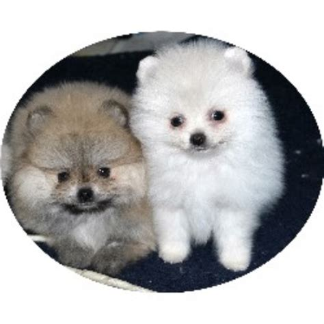 pomeranian rescue canada candicoloredpoms pomeranian breeder in hesperia california