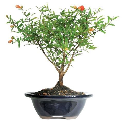 dwarf pomegranate bonsai tree  indoorherbkitscom