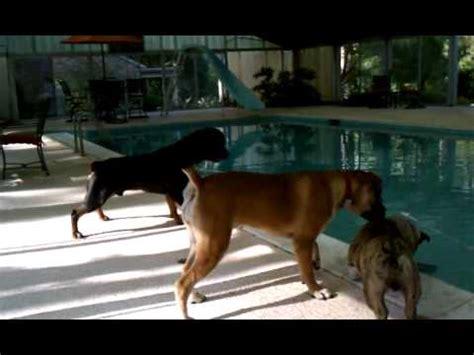 boerboel vs rottweiler home animals boerboel channel mp4 vizhole