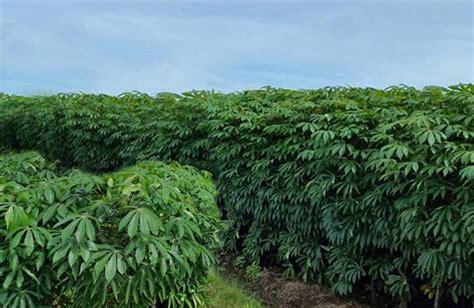 12 tips cara menanam singkong yang benar agar berbuah banyak dan besar