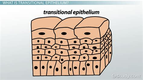 How To Post A Resume Online by Functions Of Transitional Epithelium Tissue Video
