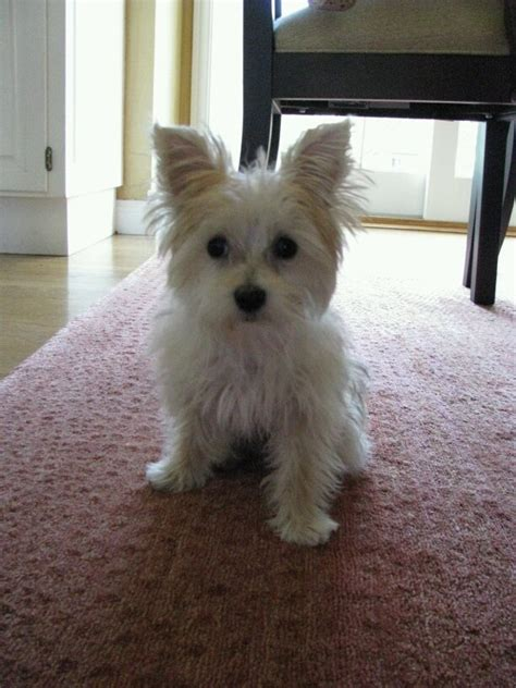 white yorkie mix white yorkie maltese mix www pixshark images galleries with a bite