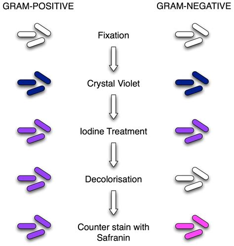 gram negative stain color gram staining principle procedure and results
