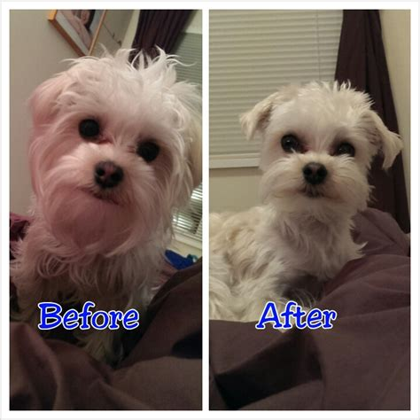 morkie dog haircuts milo white morkie dog gets a haircut morkie dog collage