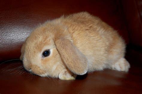 lop eared bunny by bivoirart on deviantart