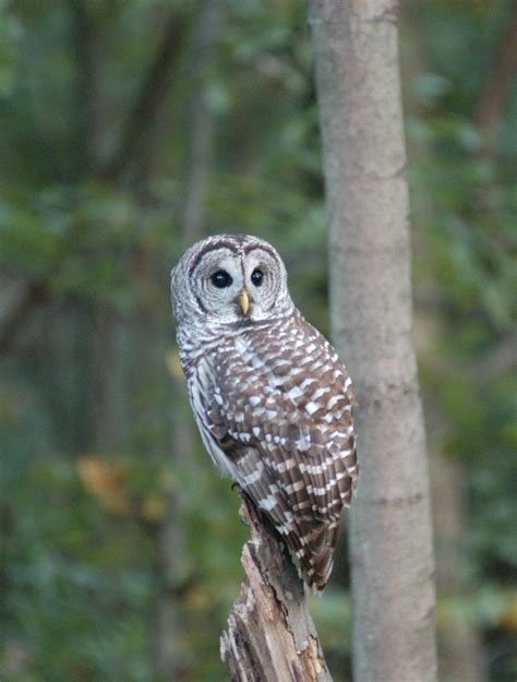 ohio bird photo collection barred owl face on