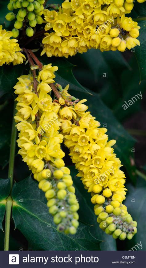 evergreen shrub with yellow flowers mahonia japonica x napaulensis flowers flowering shrubs