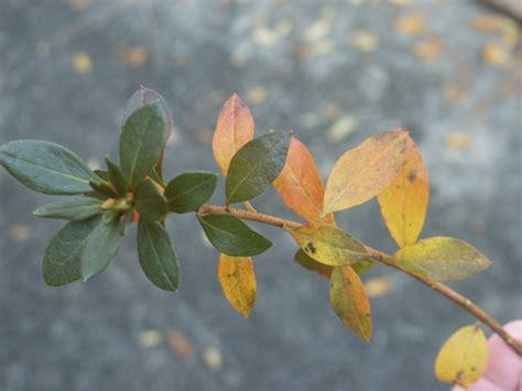 azalea yellow leaves  winter walter reeves