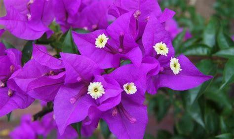 Pupuk Untuk Tanaman Bunga Kertas cara menanam bunga kertas menjadi indah petani top