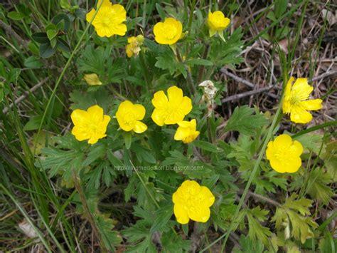 foto fiori gialli in nome dei fiori ranuncolo comune fiori gialli di co
