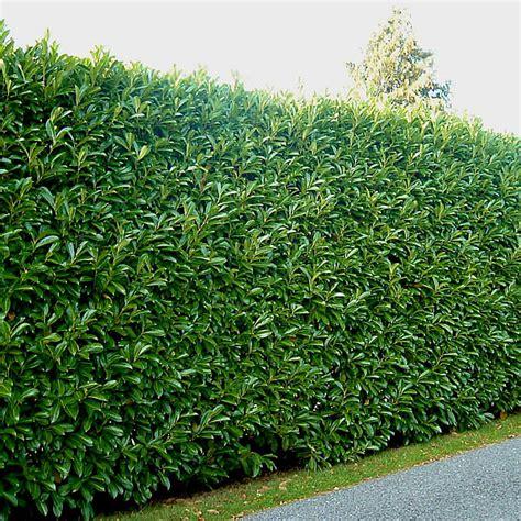 prunus laurocerasus rotundifolia hedge 5 prunus laurocerasus hedging common laurel hedging
