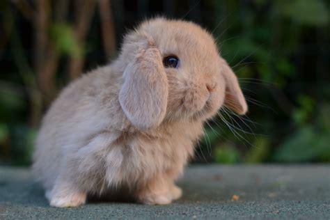 coniglio ariete nano alimentazione dsc 0781 la stalla dei conigli allevamento e vendita