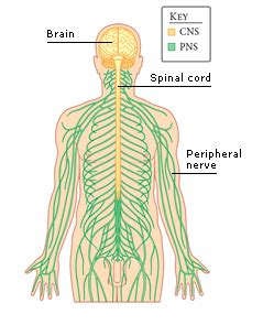 diagram of central and peripheral nervous system diagram peripheral nervous system image collections how