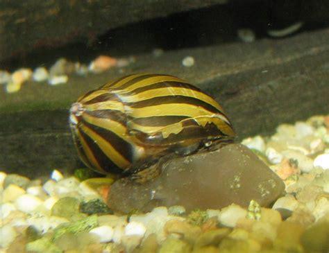 Schnecken Im Aquarium Halten by Zebra Rennschnecke Vittiana Coromandeliana
