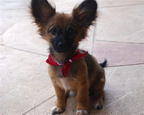 designer dogs paperanian designer dogs breed standards