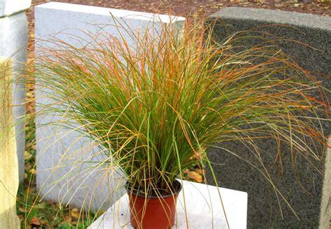 Bambus Garten Pflanzen Kölle by Winterharte K 252 Belpflanzen Als Sichtschutz Ligustrum