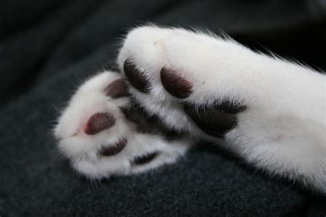 5 choses 224 savoir sur les pattes des chats comprendre